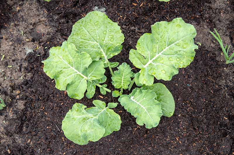 A close up horizontal image of a young broccoli seedling growing in rich soil in the garden.