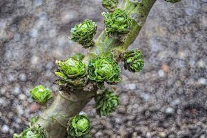 Loose-Leafed Brussels Sprouts: What to Do for Poorly Formed Heads