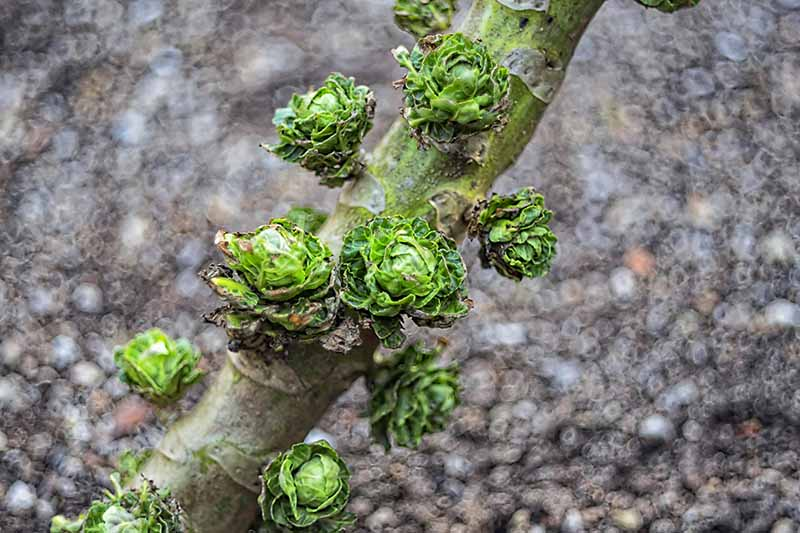 A close up horizontal image of a brussels sprout stalk showing loose, damaged heads pictured on a soft focus background.
