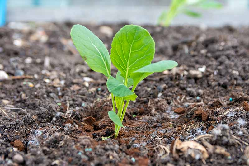 A close up horizontal image of a small brussels sprout seedling growing in the garden.