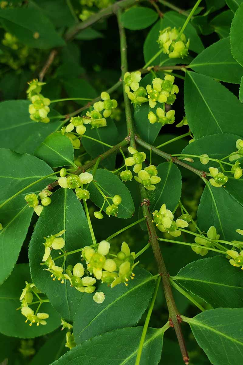 A close up vertical image of the small green flowers of the burning bush shrub, surrounded by green foliage pictured on a soft focus background.