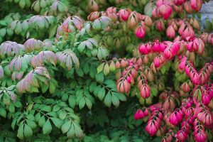 How to Grow and Care for Burning Bushes