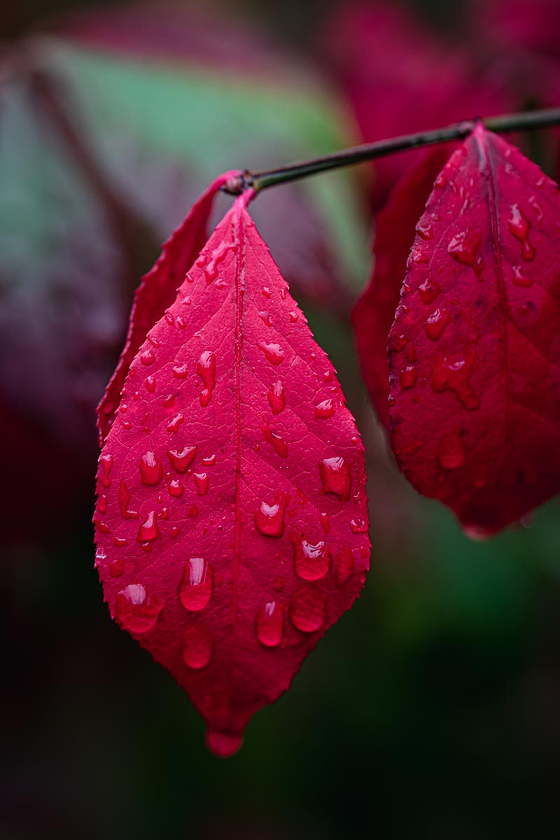 A close up vertical image of the bright red fall foliage of Euonymus alatus, pictured on a soft focus background.