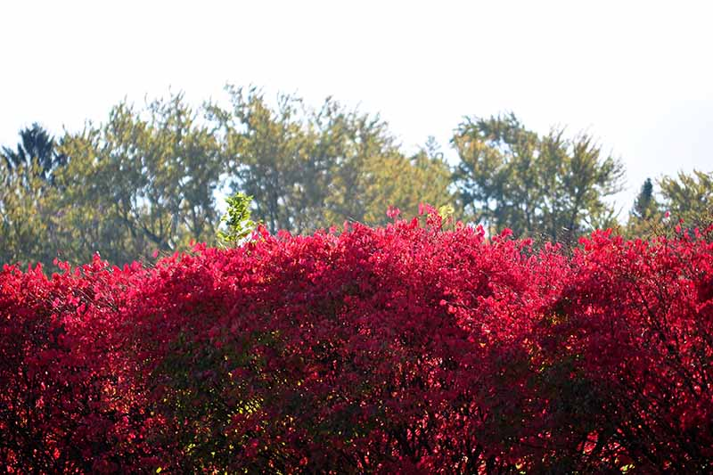 A horizontal image of a hedge of burning bush (Euonymus alatus) shrubs with trees in soft focus in the background.