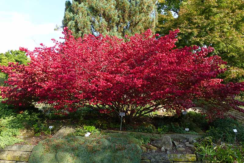 A horizontal image of a large burning bush, Euonymus alatus, growing in a botanical garden with trees and blue sky in the background.