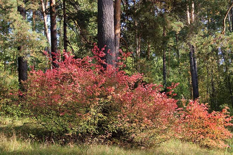 A horizontal image of a burning bush shrub turning red in the autumn landscape with trees in soft focus in the background.