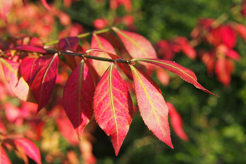 A close up horizontal image of the bright red foliage of Euonymus alatus in the fall garden pictured in light sunshine on a soft focus background.