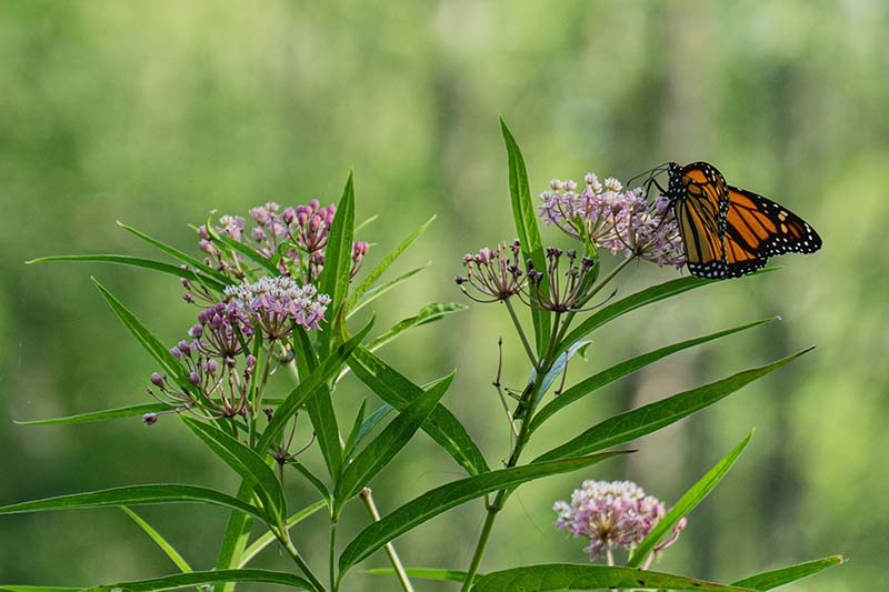 A close up horizontal image of a monarch butterfly feeding on a milkweed flower pictured on a soft focus background.