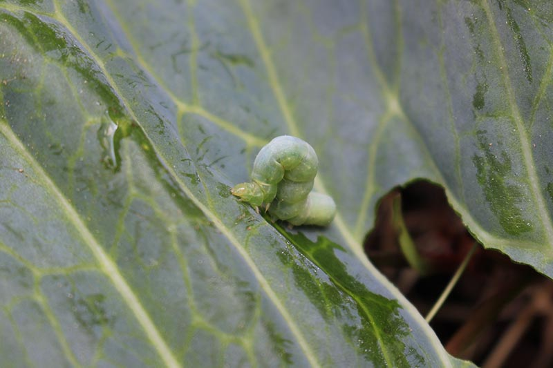 A close up horizontal image of a cabbage looper inching its way along a leaf, creating damage in its wake.