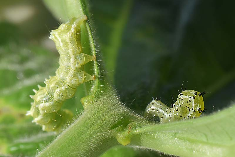 A close up horizontal image of cabbage loopers feeding on plant leaves.