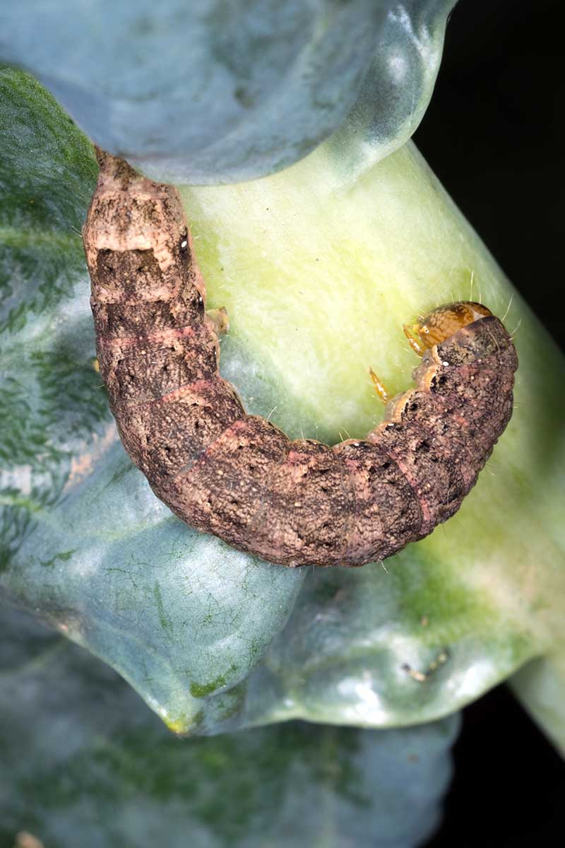 A close up vertical image of the larvae of a cabbage moth feeding on a brassica plant.