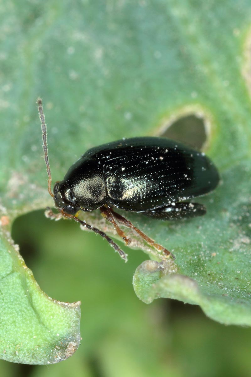 A close up vertical image of a cabbage flea beetle munching on a green leaf.