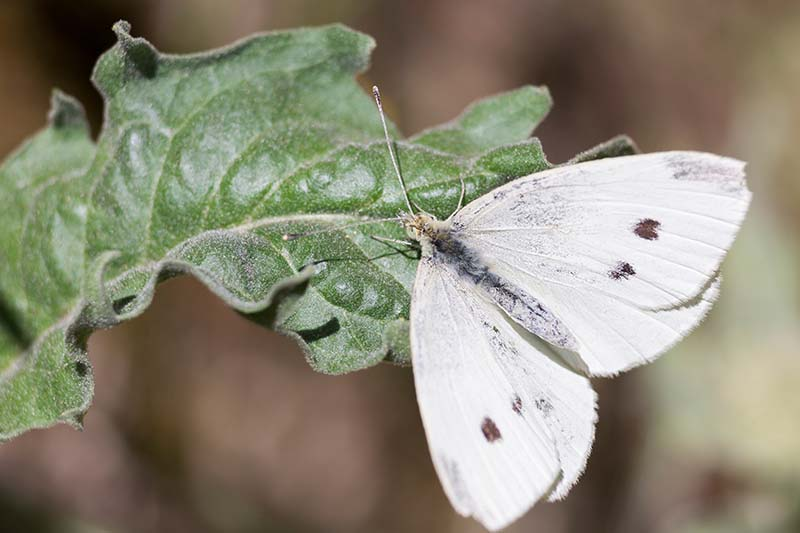 A close up horizontal image of a cabbage white butterfly on a green leaf pictured on a soft focus background.