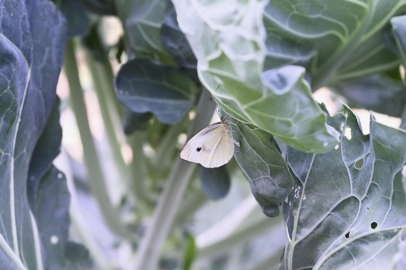 A close up horizontal image of a cabbage white butterfly feeding on the leaves of a brassica plant.