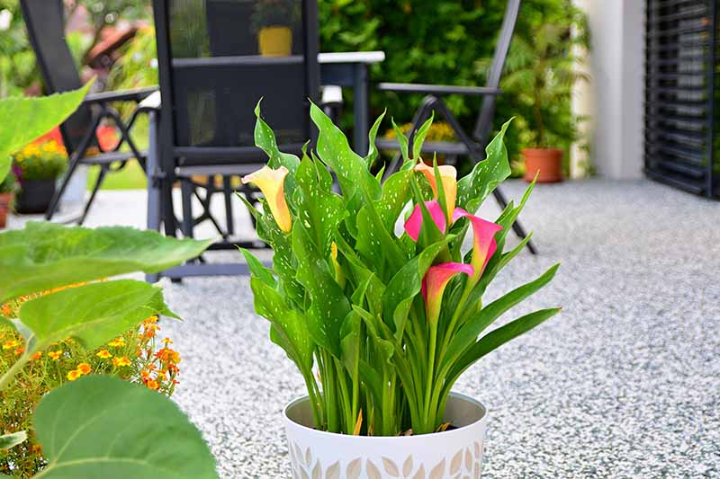A close up horizontal image of a pot of colorful calla lilies growing in a decorative container set on a patio outside a residence.