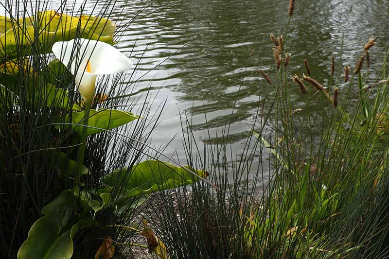 A close up horizontal image of a white calla lily growing next to a body of water.
