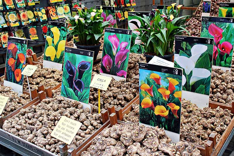 A horizontal image of various types of flower bulbs for sale at a market.