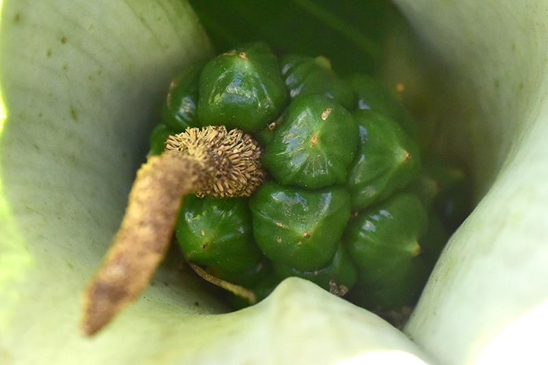 A close up horizontal image of the inside of a calla lily flower showing the seeds developing.