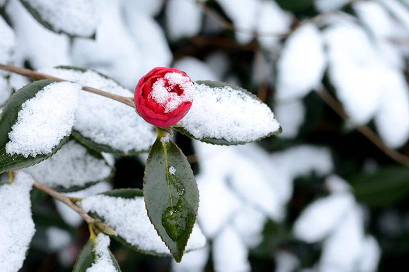 A close up horizontal image of a red camellia flower with a light dusting of snow on the foliage.