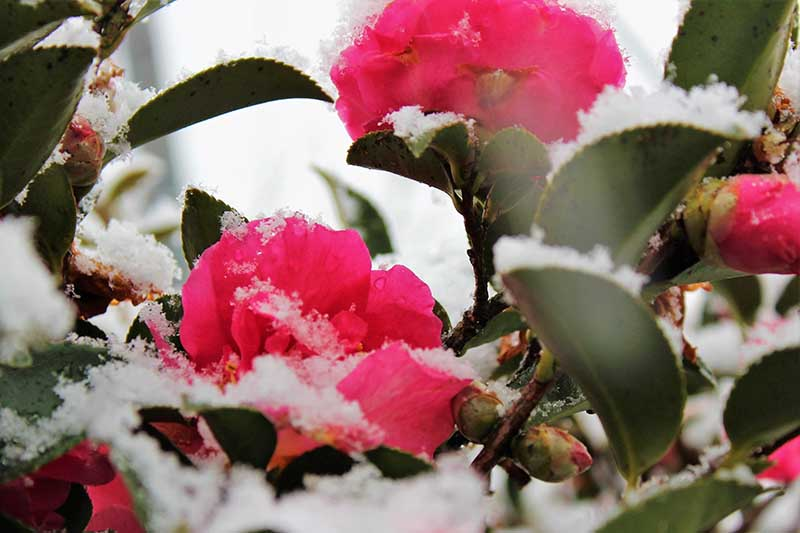 A close up horizontal image of dark pink camellia flowers and foliage covered in a light dusting of snow.