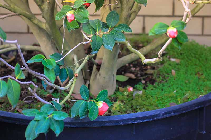 A close up horizontal image of a camellia plant with unopened flower buds growing in a large container.
