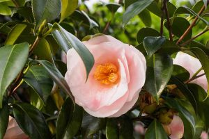 Troubleshooting Tips for Growing Camellias in Containers