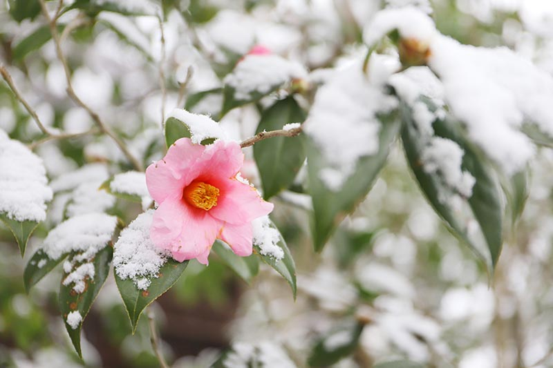 A close up horizontal image of a pink camellia flower growing in a snowy winter landscape.