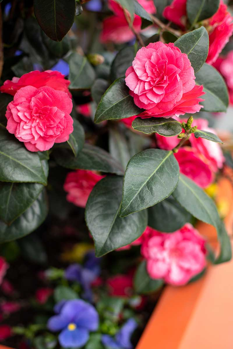 A close up vertical image of the pink flowers and deep green foliage of a camellia plant growing in a container.