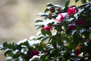 How to Protect Camellias from Winter Cold Damage