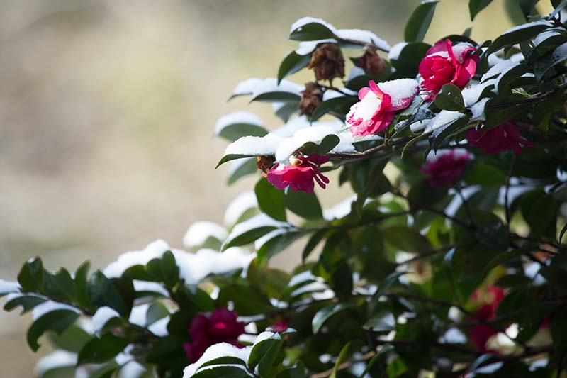 A close up horizontal image of a flowering camellia plant growing in the winter garden with a light dusting of snow, pictured on a soft focus background.