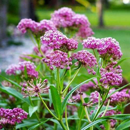 A close up square image of the flowers of 'Carmine' milkweed growing in the garden.