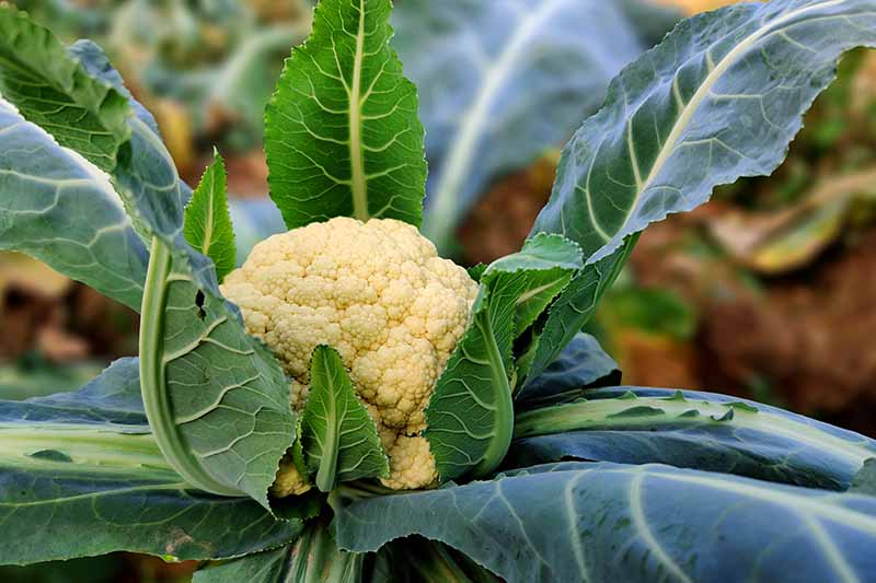 A close up horizontal image of a cauliflower plant growing in the garden with a white head that is ready to harvest.