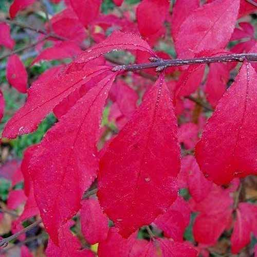 A close up square image of the bright red foliage of Euonymus 'Chicago Fire' pictured on a soft focus background.