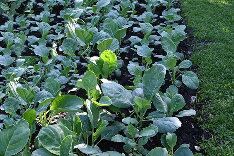 A close up horizontal image of a vegetable garden planted with rows of Chinese broccoli.
