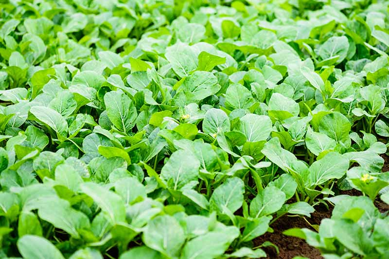 A close up horizontal image of Chinese broccoli seedlings growing in the vegetable garden.