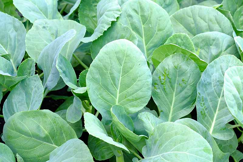A close up horizontal image of Chinese broccoli plants growing in the garden.