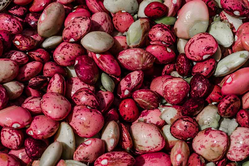 A close up horizontal image of a pile of pink, speckled butter peas.
