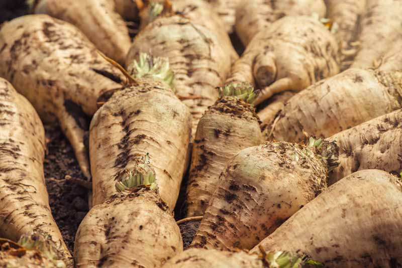 A close up horizontal image of a pile of harvested sugar beets.