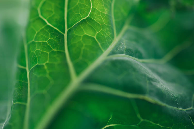 A close up horizontal image of a kohlrabi leaf showing the vein detail.