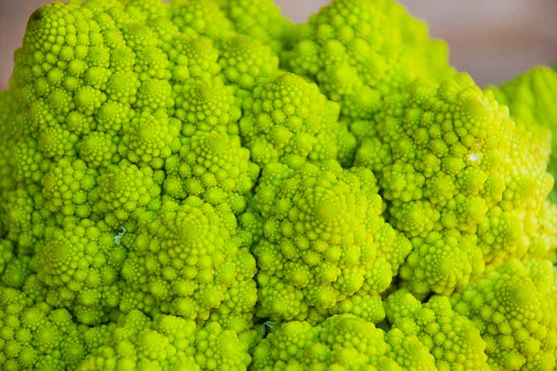 A close up horizontal image of a head of Romanesco broccoli pictured on a soft focus background.
