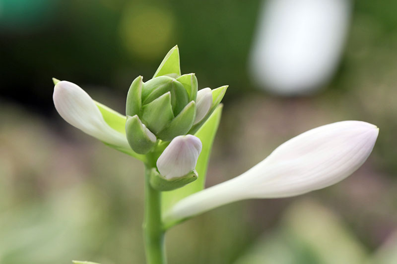 A close up horizontal image of a flower just starting on open on a hosta flower stalk pictured on a soft focus background.