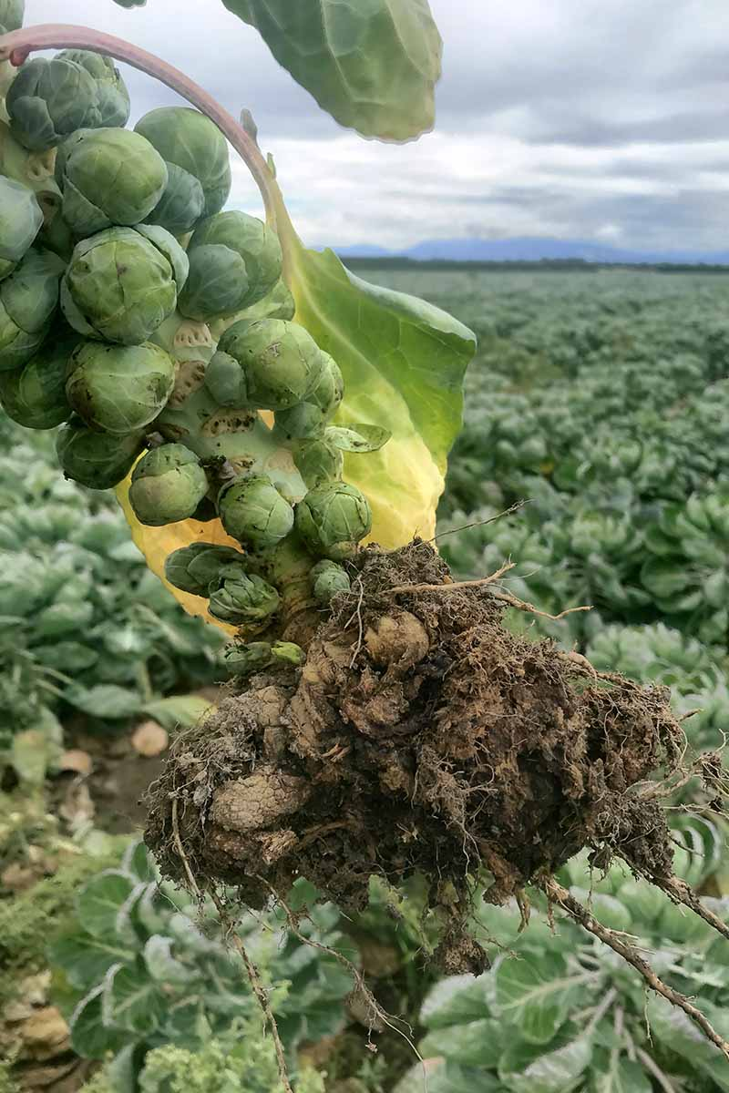 A close up vertical image of a brussels sprout plant that has been pulled out of the ground showing the roots suffering from clubroot.