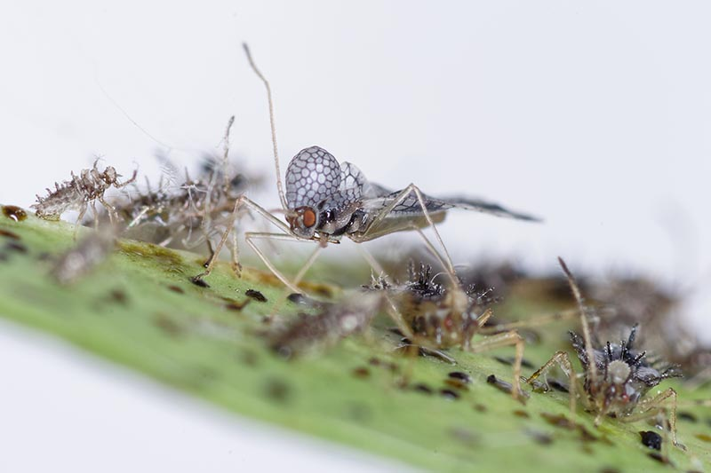 A close up horizontal image of a colony of lace bugs infesting a leaf pictured on a soft focus background.