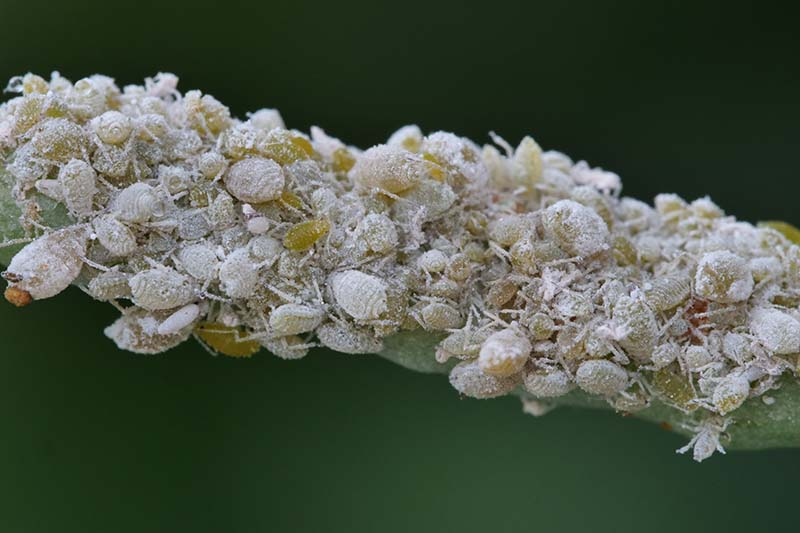 A close up horizontal image of a colony of aphids infesting a stem of a plant pictured on a soft focus background.