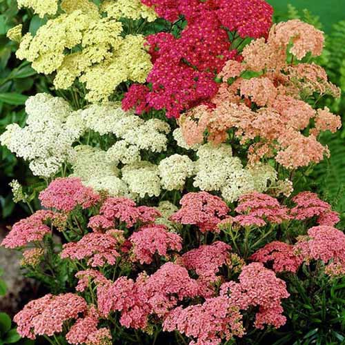 A close up square image of of different colored yarrow flowers growing in the garden.