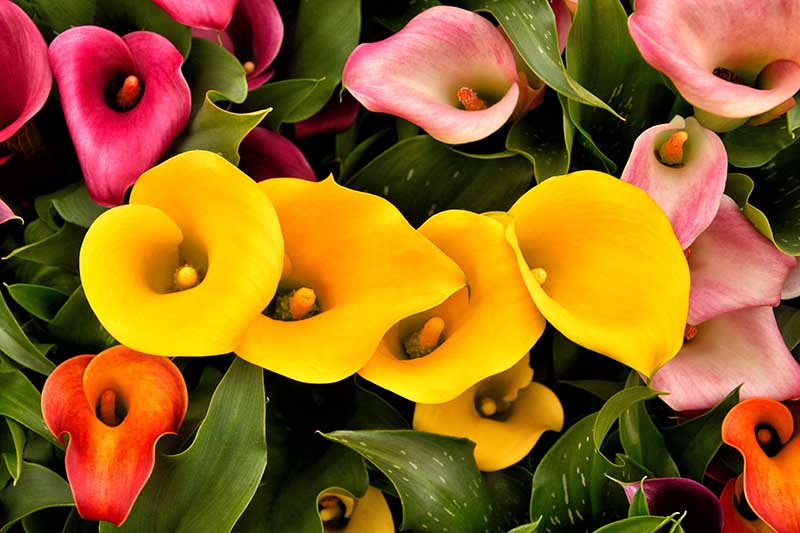 A close up horizontal image of red and yellow calla lilies growing in the garden.