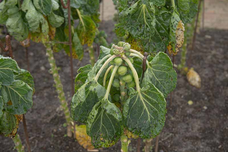 A close up horizontal image of brussels sprout plants growing in the garden suffering from disease.