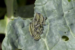 Common Brussels Sprout Pests: What's Eating My Plants?