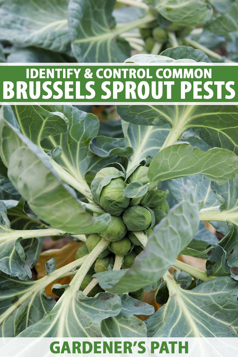 A close up vertical image of a brussels sprout plant with deep green foliage and small buttons growing in the garden. To the top and bottom of the frame is green and white printed text.