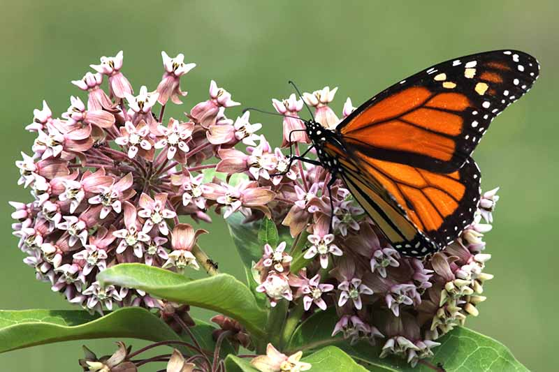 A close up horizontal image of a monarch butterfly feeding on Asclepias syriaca flowers pictured on a green soft focus background.